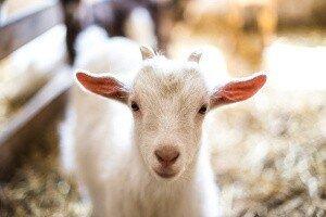 Goat Milk Powder Emerging Trends